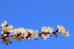 Flowering apricot branch stock image