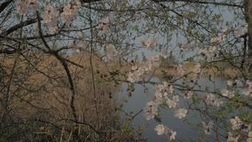 Flowering apricot branch. Near a river stock footage