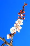 Flowering apricot branch Royalty Free Stock Photos