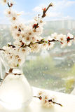 Apricot  in a vase Stock Photography
