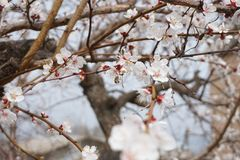 Flowering apricot branches in spring stock photography