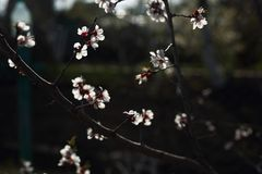 Flowering apricot branches in the spring garden stock photo
