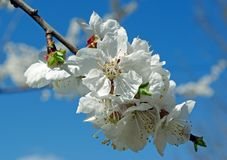 Flowering apricot close-up. Spring flowers Stock Images