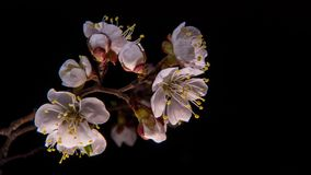 Flowering apricot flowers stock video footage