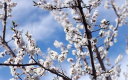 Flowering of apricot. Russia. April Stock Image