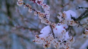 Flowering apricot in the snow in April stock video