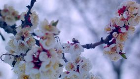 Flowering apricot in the snow in April stock footage