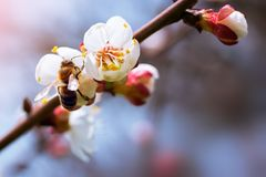Flowering apricot spring flowers Stock Photos