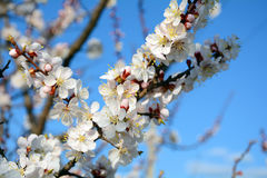 Flowering of apricot tree Royalty Free Stock Images