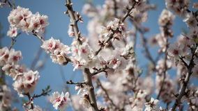 Flowering apricot tree stock video footage