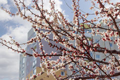 Flowering apricot tree on background of a multistory building Royalty Free Stock Image