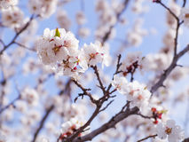 A flowering apricot tree on blue sky background Royalty Free Stock Photos