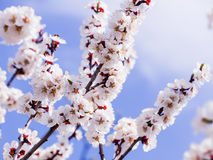 A flowering apricot tree on blue sky background Stock Images