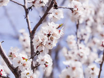 A flowering apricot tree on blue sky background Royalty Free Stock Photography