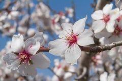Flowering apricot tree Stock Photos