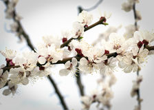 Flowering apricot tree in the garden in spring.  Stock Photos