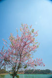 Flowering apricot tree Royalty Free Stock Photo
