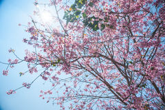 Flowering apricot tree Stock Images