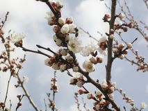 Flowering apricot tree, white flowers. royalty free stock photography