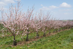Flowering apricot trees Stock Images