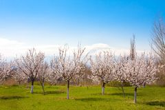 Flowering apricot trees against Ararat, Yerevan, Armenia. Flowering apricot trees against Ararat, Yerevan Royalty Free Stock Images