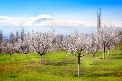 Flowering apricot trees against Ararat, Yerevan, Armenia. Flowering apricot trees against Ararat, Yerevan Royalty Free Stock Image