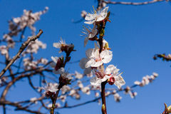 Flowering apricot trees Royalty Free Stock Photos