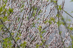 Flowering apricot trees Royalty Free Stock Image