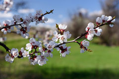 Flowering apricot trees Stock Photography