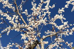 Flowering apricot trees Royalty Free Stock Images