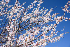Flowering apricot trees Stock Image