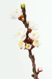 Flowering apricot twig. Stock Photo