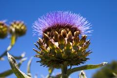Flowering Artichoke Head Stock Photos