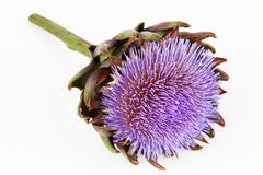 A flowering artichoke. A purple flowering artichoke with white background stock images