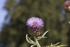 Flowering artichoke in the sun. Flowering artichoke on a sunny morning in a garden Royalty Free Stock Photography