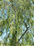 Flowering aspen pine (Populus tremula) Stock Photo