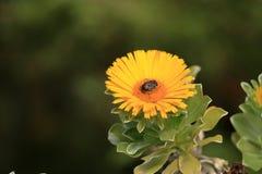 Flowering Asteriscus sericeus natural floral background stock image