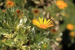 Flowering Asteriscus sericeus natural floral background royalty free stock photos