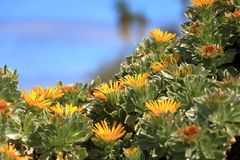 Flowering Asteriscus sericeus natural floral background stock photography
