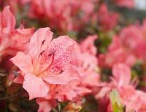 Flowering azalea Stock Images