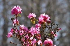 Flowering Azalea Stock Image