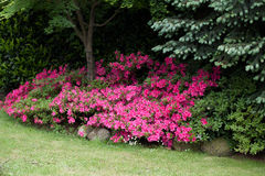 Flowering azaleas Stock Images