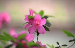 The Flowering azaleas Stock Photography