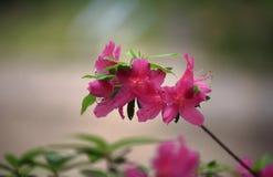 The Flowering azaleas Royalty Free Stock Image
