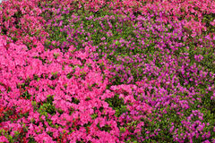 Flowering azaleas Royalty Free Stock Images