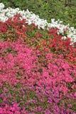 Flowering azaleas Stock Photo