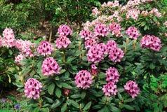 Flowering azaleas flowers in the garden. Royalty Free Stock Image