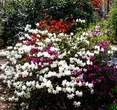 Flowering Azaleas. Splashes of vibrant color pop out of this white azalea bush in Asheville, North Carolina royalty free stock photo
