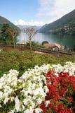 Flowering azaleas Stock Image