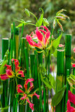 Flowering bamboo plant Royalty Free Stock Images